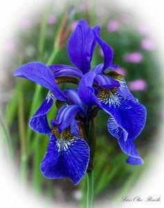 Iris, en flott blomst.