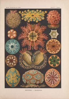From Kunstformen der Natur by Ernst Haeckel (1899-1904)