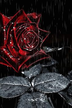 Rose Burgundy rose, drops, rain, animation - Madison Home Flowers Gif, Black Flowers, All Flowers, Pretty Flowers, Red Roses, Black Roses Wallpaper, Flower Wallpaper, Every Rose, Yellow Roses