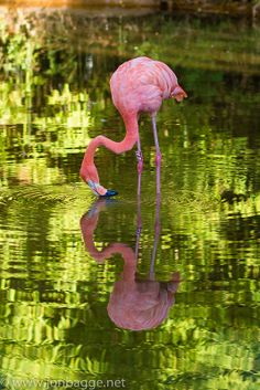 Barcelona Zoo - Pink Flamingo with beautiful reflection in water Pretty Birds, Love Birds, Beautiful Birds, Animals Beautiful, Cute Animals, Flamingo Photo, Flamingo Art, Pink Flamingos, Pink Bird