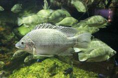 Тилапия Цихлиде подпадают под виды тилапии рыбы и выносливый рыб, обитающих в пресноводных мелких ручьев, прудов и рек. Цихлиды питательной рыбы с высоким содержанием белка, но также могут быть сохранены в целях оказания помощи вашей системы Aquaponics растений или даже в качестве домашних животных.  Тилапии виды рыб могут выжить в температуре приблизительно от 11 до 17 ° C (52 до 62 ° F).  В дикой природе, цихлиды являются в основном всеядными, однако вы можете кормить живой или…