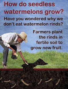 how seedless watermelons grow? :P