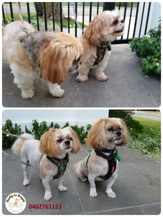 Two best friends🐶🐶 Ginger and Harley were back today for their grooming sessions. This time their mum asked me to give them super short haircut✂️✂️✂️. But don't worry, the boys won't be cold this winter because mum brought them each very beautiful winter jackets👕👕, so they will stay warm☀ and comfortable🙂 Thank you Sarah, Harley and Ginger!☺️ See you in 6 weeks!🌻 Ratty to Regal - Professional Dog Grooming Service in Bicton  with Lots of Love, Care, Patience and Treats:) Mob.: 04 02…
