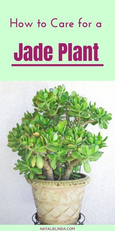 House Plants 39124 Jade plants are beautiful succulents that are very easy to care for! They make excellent houseplants and can also be grown in outdoor gardens. Learn how to grow jade plants with this simple how-to post! Crassula Succulent, Crassula Ovata, Succulent Gardening, Succulents Garden, Organic Gardening, Container Gardening, Planting Flowers, Succulent Outdoor, Indoor Gardening