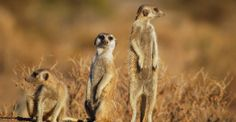 Suricates,_Namibia-2