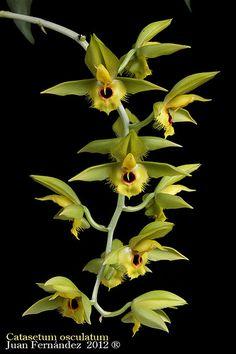 Catasetum osculatum | JuanFGomez | Flickr