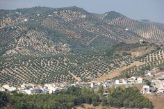 Spain,  Iznajar - Olive groves
