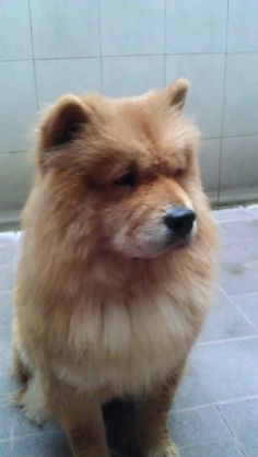 Chow chow    Please like and repin!