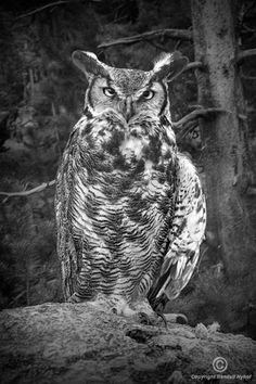 Great Horned Owl perched in the woodlands in Southwest Michigan, by RandyNyhofBWPhotos, $35.00