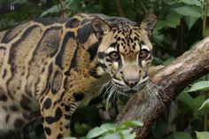 Clouded Leopard - The Cincinnati Zoo & Botanical Garden