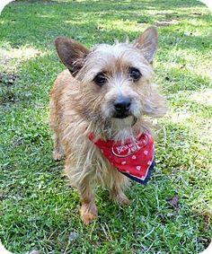 Mocksville, NC - Norwich Terrier/Cairn Terrier Mix. Meet Judd, a dog for adoption. http://www.adoptapet.com/pet/17883955-mocksville-north-carolina-norwich-terrier-mix