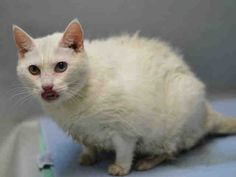 Brooklyn Center  My name is ELMYRA. My Animal ID # is A1079745. – P I am a female white domestic sh mix. The shelter thinks I am about 2 YEARS  I came in the shelter as a STRAY on 07/02/2016 from NY 11221, owner surrender reason stated was STRAY.  MOST RECENT MEDICAL INFORMATION AND WEIGHT 07/05/2016 Exam Type VACCINATE – Medical Rating is 3 NC – MAJOR CONDITIONS NOT CONTAGIOUS, Behavior Rating is NONE, Weight 12.6 LBS.