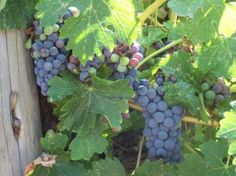 Shopping in Grants Pass Oregon | Grants Pass, OR: wine grapes in Applegate Valley. we like the valley a ...