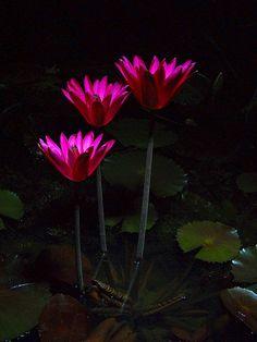 Red Cup, after dark. Night bloom tropical waterlily  http://www.aquabid.com/cgi-bin/auction/auction.cgi?disp&viewseller&Adavisus
