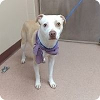 Mister - URGENT - Alvin Animal Adoption Center in Alvin, Texas - ADOPT OR FOSTER - American Pit Bull Terrier Mix