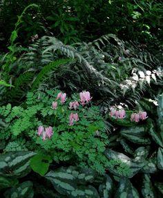 Dicentra x 'King of Hearts', Asarum splendens, Athyrium nipponicum pictum (Japanes painted fern).