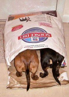 I hope mommy can't see us! Dachshund= German for chowhound. Mini Dachshund, Dachshund Puppies, Weenie Dogs, Cute Puppies, Cute Dogs, Dogs And Puppies, Daschund, Doggies, Funny Dachshund