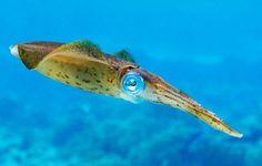animals-animals-animals:  Carribean Reef Squid (by Blake...