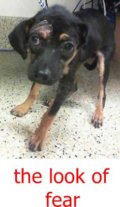 COFFEE (A1809826) I am a female black and tan Labrador Retriever mix. The shelter staff think I am about 13 weeks old. I was found as a stray and I may be available for adoption on 08/21/2016. Miami dade https://www.facebook.com/urgentdogsofmiami/photos/a.486578298043245.118211.191859757515102/1267045293329871/?type=3&theater