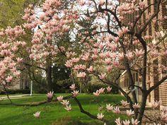 I <3 magnolias!