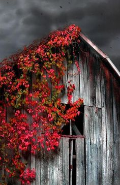 Barn with red foliage
