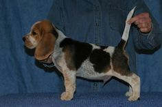 bluetick Beagle.