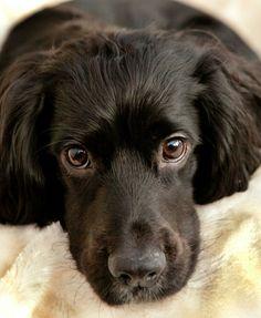 My puppy cocker spainel Mans Best Friend, Best Friends, Spaniels, Cocker Spaniel, Animals And Pets, Doggies, Labrador Retriever, Dog Cat, Creatures