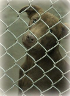 Lovables: 06/24/14 **URGENT ODESSA** Lab mix female less than a year old Kennel A23 Available NOW ****$51 to adopt  Has had vaccines  Located at Odessa, Texas Animal Control. 432-368-3527