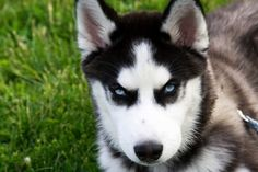 According to DNA testing, the Siberian Husky is one of the oldest breeds of dogs.