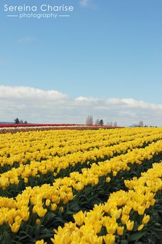 Rows of yellow tulips.