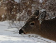 naturelover2007 posted a photo:  This white-tailed deer, plus three others, walked out of the bush right in front of me, as I was photographing birds. They were too close for a 400 mm lens. Luckily. this time I had two cameras and a cell phone, so I managed other full shots.
