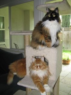 My two delightful Maine Coons, Maddie (calico) and Dexter (tabby)