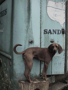 redbone coonhound   Tumblr