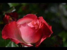 red rose hd - Pesquisa Google