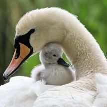 Sweet cygnet and a female swan