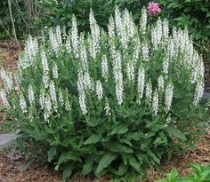 White salvia covered in many blooms