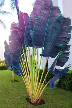 100 Pcs/Bag Purple Travelers Palm Flores Bonsai, Ravenala Madagascariensis Chinese Fan Palm Plant,Tall Evergreen Tree Diy Garden art design landspacing to plant Unusual Plants, Exotic Plants, Cool Plants, Tropical Plants, Palm Plants, Purple Plants, Tropical Gardens, Fruit Plants, Bonsai Plants