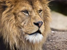 The lions king by Tammo Zelle on 500px