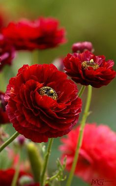 Red Ranunculus .... ♥♥ ....