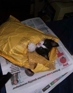 Chaton dans une enveloppe