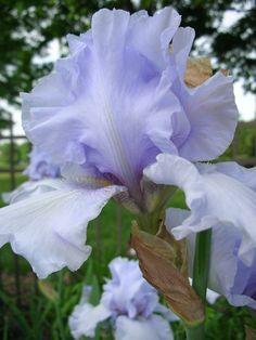 iris i love