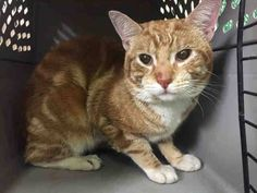NYC TO BE DESTROYED 04/10/15 **SWEET** KIP Walked up to me & purred when I called to him Allowed me to pick him up. Kip accepts the stroke, stands with tail up, head-butts the assessor's hand & appreciates petting on the head & body.  ID # A1031987. Male org tabby & white about 2 YEARS STRAY https://www.facebook.com/nycurgentcats/photos/a.987249771293010.1073742650.220724831278845/987250117959642/?type=3&theater