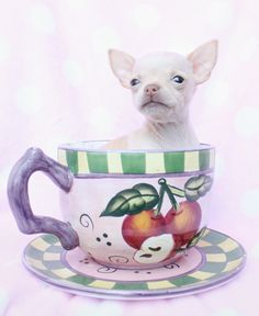 Teacup Chihuahua by teacupspuppies.com