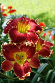 Daylily (Hemerocallis) 'Big Red Wagon'