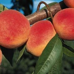 Peach Red Haven at Wairere Nursery - Buy Online