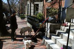Boston Dogs