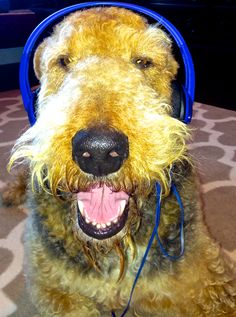 *Jake* Airedale Terrier