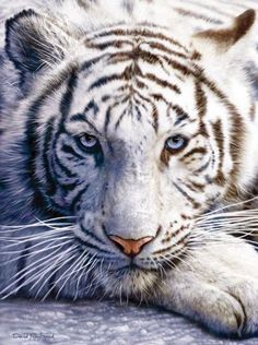 "White Tiger Face is a 1000 piece jigsaw puzzle. Featuring artwork by David Penfound. Puzzle measures 20 x 27"" when complete. Our puzzles are eco-friendly we use soy-based inks on recycled boards. Made"