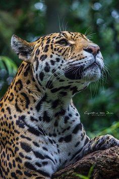 The jaguar.