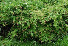 Image result for corylopsis pauciflora